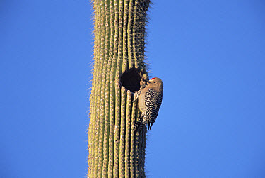 Gila Woodpecker (Melanerpes uropygialis) nesting in Saguaro (Carnegiea gigantea) in desert, spring, Sonoran Desert National Monument, Arizona  -  Yva Momatiuk & John Eastcott