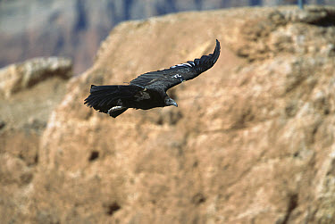 California Condor (Gymnogyps californianus) immature bird flying, 9-10 foot wingspan, with radio transmitters attached, Marble Canyon, Arizona  -  Yva Momatiuk & John Eastcott