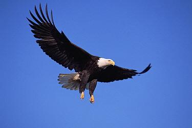 Bald Eagle (Haliaeetus leucocephalus) flying against clear blue sky, spring, south central Alaska  -  Yva Momatiuk & John Eastcott
