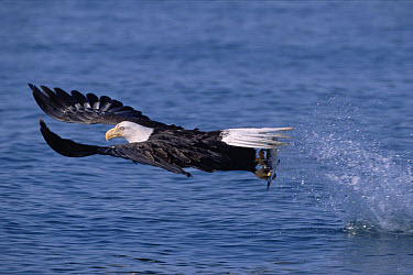 Bald Eagle (Haliaeetus leucocephalus) fishing in the sea, spring, Kenai Peninsula, south central Alaska  -  Yva Momatiuk & John Eastcott