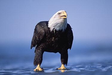 Bald Eagle (Haliaeetus leucocephalus) adult on mud-flats at low-tide, spring, south central Alaska  -  Yva Momatiuk & John Eastcott