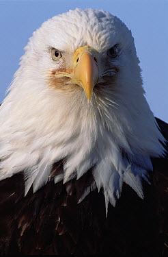Bald Eagle (Haliaeetus leucocephalus) adult portrait, spring, south central Alaska  -  Yva Momatiuk & John Eastcott