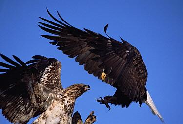 Bald Eagle (Haliaeetus leucocephalus) adult and immature bird jostle in mid-air, spring, south central Alaska  -  Yva Momatiuk & John Eastcott