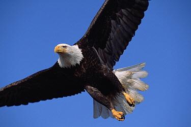 Bald Eagle (Haliaeetus leucocephalus) adult flying against clear blue sky, spring, south central Alaska  -  Yva Momatiuk & John Eastcott