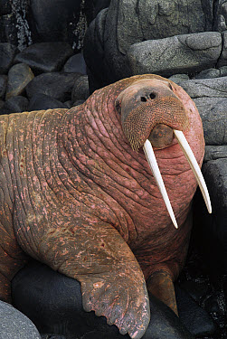 Pacific Walrus (Odobenus rosmarus divergens) bull portrait on coastal rocks in haul-out cove, summer, Round Island, Bering Sea, Bristol Bay, Alaska  -  Yva Momatiuk & John Eastcott