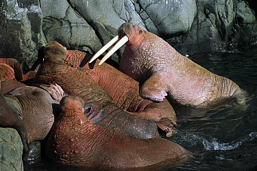 Pacific Walrus (Odobenus rosmarus divergens) bull with pale skin hauling-out after many hours in cold sea, after warming on land skin turns reddish-brown, summer, Round Island, Bering Sea, Bristol Bay...  -  Yva Momatiuk & John Eastcott