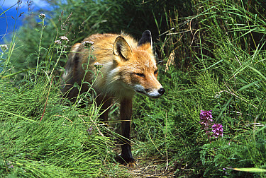 Red Fox (Vulpes vulpes) walking on trail through deep grass, summer, Round Island, Bristol Bay, Bering Sea, Alaska  -  Yva Momatiuk & John Eastcott