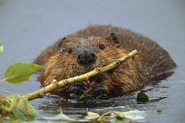 American Beaver (Castor canadensis) young animal munching on alder branches in glacial kettle pond, Denali National Park and Preserve, Alaska