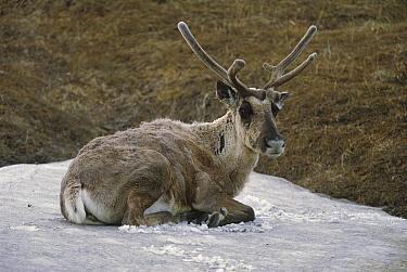 Caribou (Rangifer tarandus) bull resting in snow patch to escape insects, Denali National Park, Alaska  -  Yva Momatiuk & John Eastcott
