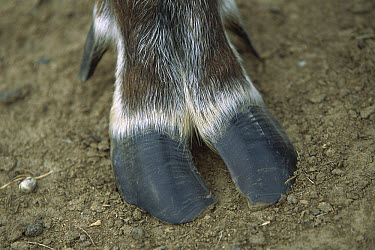 Caribou (Rangifer tarandus) close-up of flat, splayed hoof, summer, Alaska  -  Yva Momatiuk & John Eastcott