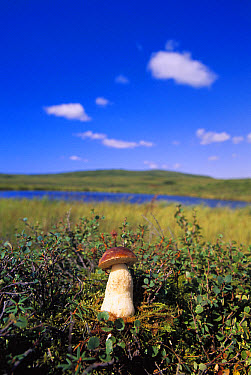 Bolete (Boletus sp) mushroom, in tundra, summer, Denali National Park and Preserve, Alaska  -  Yva Momatiuk & John Eastcott