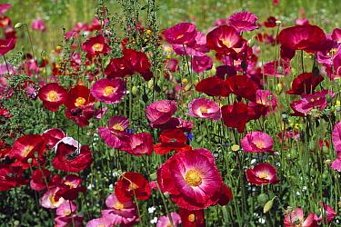Rooted Poppy (Papaver radicatum) in bloom, summer, Anchorage, Alaska  -  Yva Momatiuk & John Eastcott