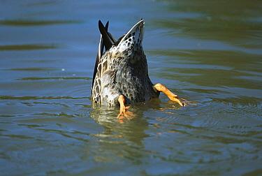 Mallard (Anas platyrhynchos) feeding in pond on aquatic vegetation and small animals, summer, Southeast Alaska  -  Yva Momatiuk & John Eastcott