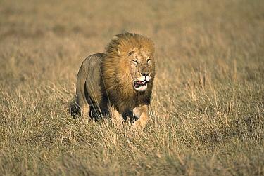 African Lion (Panthera leo) adult male with full mane, walking in grassland, Masai Mara National Reserve, Kenya  -  Yva Momatiuk & John Eastcott