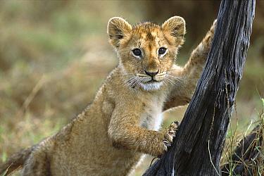 African Lion (Panthera leo) three month old cub climbing tree stump, Masai Mara National Reserve, Kenya  -  Yva Momatiuk & John Eastcott