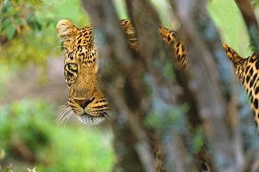 Leopard (Panthera pardus) large male peeking from behind bushes, Masai Mara National Reserve, Kenya  -  Yva Momatiuk & John Eastcott