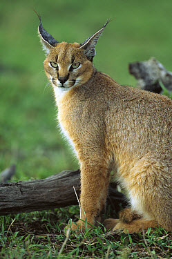 Caracal (Caracal caracal) sitting in short grass, evening, Masai Mara National Reserve, Kenya  -  Yva Momatiuk & John Eastcott