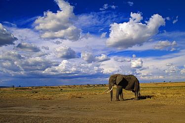 African Elephant (Loxodonta africana) male walking in grassland, Masai Mara National Reserve, Kenya  -  Yva Momatiuk & John Eastcott