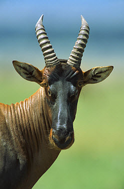 Topi (Damaliscus lunatus), Masai Mara National Reserve, Kenya  -  Yva Momatiuk & John Eastcott