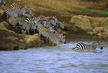 Burchell's Zebra (Equus burchellii) herd crossing the Mara River, Masai Mara National Reserve, Kenya  -  Yva Momatiuk & John Eastcott