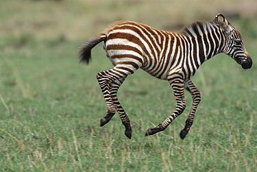 Burchell's Zebra (Equus burchellii) foal running and playing on short green grass, Masai Mara National Reserve, Kenya  -  Yva Momatiuk & John Eastcott