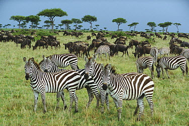 Burchell's Zebra (Equus burchellii) and Blue Wildebeest (Connochaetes taurinus) herds grazing together in open grassland during short rainy season in November, Masai Mara National Reserve, Kenya  -  Yva Momatiuk & John Eastcott