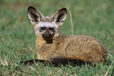 Bat-eared Fox (Otocyon megalotis) resting near den, large ears help fox to hear prey, Masai Mara National Reserve, Kenya  -  Yva Momatiuk & John Eastcott