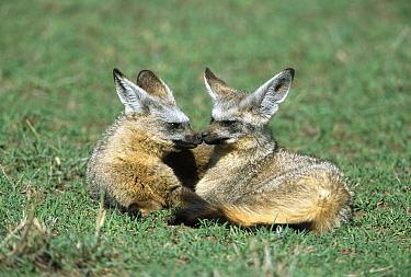 Bat-eared Fox (Otocyon megalotis) pair mated for life, large ears help fox to hear prey, Masai Mara National Reserve, Kenya  -  Yva Momatiuk & John Eastcott
