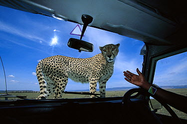 Cheetah (Acinonyx jubatus) adult female, climbs on safari vehicle hood to scan savannah from high vantage point while looking for prey, Masai Mara National Reserve, Kenya  -  Yva Momatiuk & John Eastcott