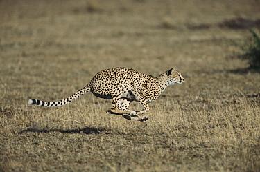 Cheetah (Acinonyx jubatus) female chasing Thompson's Gazelle (Eudorcas thomsonii) fawn at full-speed, Masai Mara National Reserve, Kenya  -  Yva Momatiuk & John Eastcott