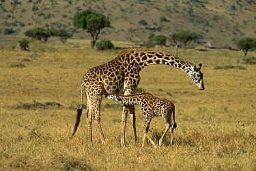 Masai Giraffe (Giraffa tippelskirchi) mother nursing newborn, Masai Mara, Kenya  -  Yva Momatiuk & John Eastcott