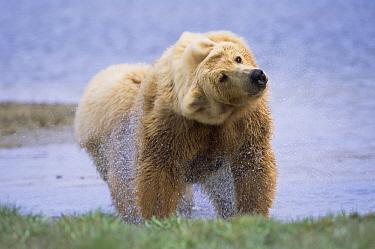 Grizzly Bear (Ursus arctos horribilis) shaking her body to dry it after swimming across river in high tide, Katmai National Park, Alaska  -  Yva Momatiuk & John Eastcott