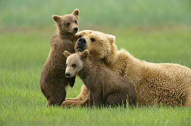Grizzly Bear (Ursus arctos horribilis) 4 month old cubs trying to engage mother in play, Katmai National Park, Alaska  -  Yva Momatiuk & John Eastcott
