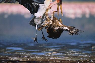 Marabou Stork (Leptoptilos crumeniferus) tries to claim Lesser Flamingo (Phoenicopterus minor) carcass from Steppe Eagle (Aquila nipalensis), Lake Nakuru National Park, Kenya  -  Yva Momatiuk & John Eastcott