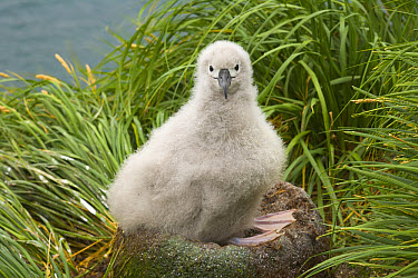 Grey-headed Albatross (Thalassarche chrysostoma) chick sits in nest in verdant tussock covering rock cliffs of Elsehul, late summer, South Georgia Island, Southern Ocean, Antarctic Convergence  -  Yva Momatiuk & John Eastcott
