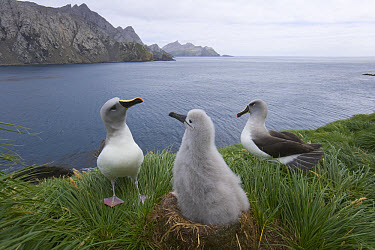 Grey-headed Albatross (Thalassarche chrysostoma) parents interact with their downy grey chick sitting in nest, in verdant tussock covered rock cliffs, summer breeding season, Elsehul, South Georgia Is...  -  Yva Momatiuk & John Eastcott