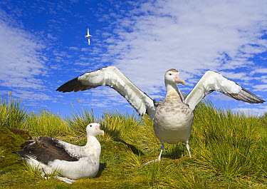 Wandering Albatross (Diomedea exulans) spreading wings in courtship display, during early fall mating season, Prion Island, South Georgia, Southern Ocean, Antarctic Convergence  -  Yva Momatiuk & John Eastcott