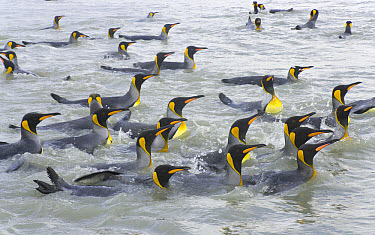 King Penguin (Aptenodytes patagonicus) swimmng and washing their feathers to maintain insulating properties in cold climate, near beaches of Salisbury Plain, South Georgia Island, Southern Ocean, Anta...  -  Yva Momatiuk & John Eastcott