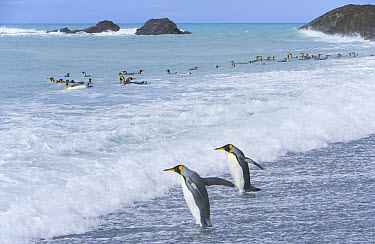 King Penguin (Aptenodytes patagonicus) adults walking into surf to bathe and clean their feathers to assure insulating properties in cold climate, fall, Southern Ocean, South Georgia Island, Antarctic...  -  Yva Momatiuk & John Eastcott