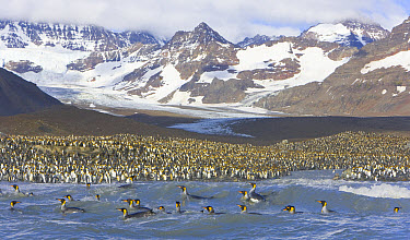 King Penguin (Aptenodytes patagonicus) rookery with rafts of birds swimming and washing to clean their feathers, Allardyce Range in background, fall, St Andrews Bay, South Georgia Island, Southern Oce...  -  Yva Momatiuk & John Eastcott