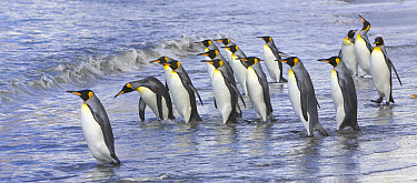 King Penguin (Aptenodytes patagonicus) walking into sea near rookery to clean their feathers to keep their insulating qualities, Alardyce Range and glaciers in background, fall, St Andrews Bay, South...  -  Yva Momatiuk & John Eastcott