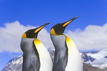 King Penguin (Aptenodytes patagonicus) rookery, fall, St Andrews Bay, South Georgia Island, Southern Ocean, Antarctic Convergance  -  Yva Momatiuk & John Eastcott
