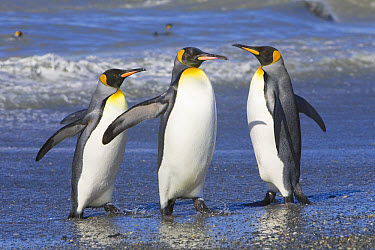 King Penguin (Aptenodytes patagonicus) walking out of sea after swimming and cleaning feathers to maintain their insulating qualities, St Andrews Bay, South Georgia Island, Southern Ocean, Antarctic C...  -  Yva Momatiuk & John Eastcott