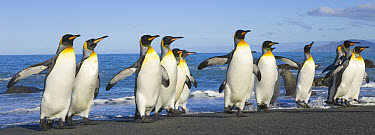 King Penguin (Aptenodytes patagonicus) adults coming ashore flapping wings after swimming and washing their feathers to maintain their insulating qualities, fall, Gold Harbour, South Georgia Island, S...  -  Yva Momatiuk & John Eastcott