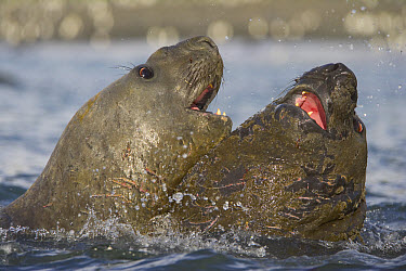 Southern Elephant Seal (Mirounga leonina) subadult males fighting in sea for fun and exercise, fall, Gold Harbour, South Georgia Island, Southern Ocean, Antarctic Convergence  -  Yva Momatiuk & John Eastcott