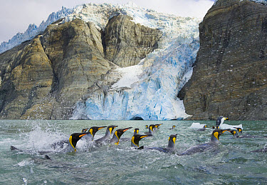 King Penguin (Aptenodytes patagonicus) group swimming near glacier melting fast due to global warming, fall, Gold Harbour, Southern Ocean, Antarctic Convergence, South Georgia Island  -  Yva Momatiuk & John Eastcott