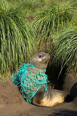 Antarctic Fur Seal (Arctocephalus gazella) young male on beach, entangled in green fishing net, deadly marine debris floating in all oceans, Gold Harbour, South Georgia, Southern Ocean, Antarctic Conv...  -  Yva Momatiuk & John Eastcott