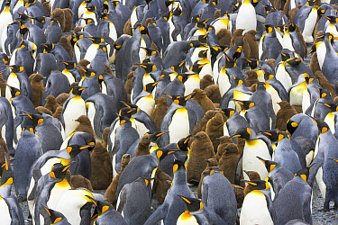 King Penguin (Aptenodytes patagonicus) chicks and adults in large busy rookery near sea, fall, Right Whale Bay, South Georgia Island, Southern Ocean, Antarctic Convergence  -  Yva Momatiuk & John Eastcott