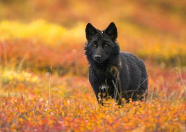 Gray Wolf (Canis lupus) juvenile, on colorful autumn tundra, Denali National Park, Alaska  -  Yva Momatiuk & John Eastcott