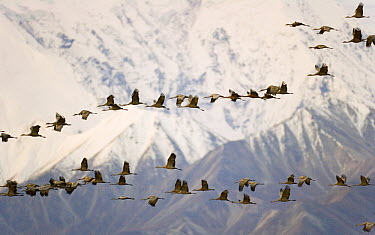 Sandhill Crane (Grus canadensis) flock flying past snow and ice covered face of Mt McKinley at sunrise, during the birds' fall migration south, Denali National Park, Alaska  -  Yva Momatiuk & John Eastcott
